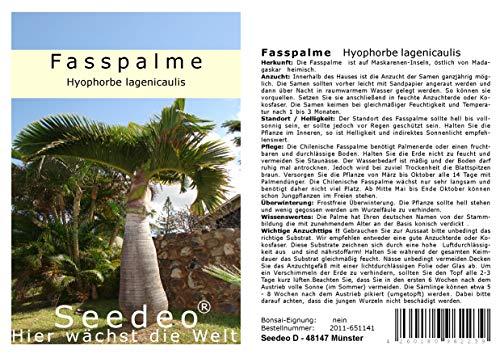 Seedeo Fasspalme (Hyophorbe lagenicaulis) 4 Samen