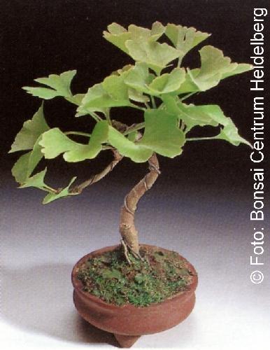 Tropica - Bonsai - Ginkgo (Ginkgo biloba) - 4 Samen