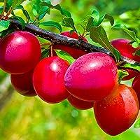スモモの苗木 品種:ビューティー【品種で選べる果樹苗木 12~15cmポット 1年生 接木苗/1個】(ポット植えなのでほぼ年中植付け可能)【※商品の特性上、背丈・形・大きさ等、植物には個体差がありますが、同規格のものを送らせて頂いております。また、植物ですので多少の枯れ込みやキズ等がある場合もございます。晩秋から初春は落葉時期ですので葉が無いか葉が傷んだ状態での出荷となります。予めご了承下さい】 【自社農場から新鮮苗直送!!】