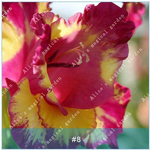 ZLKING 2 ampoules différentes vivaces Gladiolus fleurs d'orchidées Graines Plantes Bonsai Graines Lily Sare Pour jardin Plantation Rouge Jaune