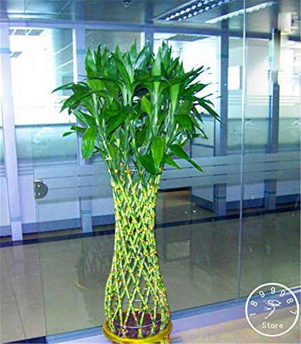 ! Promotion Lucky Bamboo Seeds Potted Balcon Radiation Absorption La plantation est simple - 100 graines / Pack, # 5IDR55