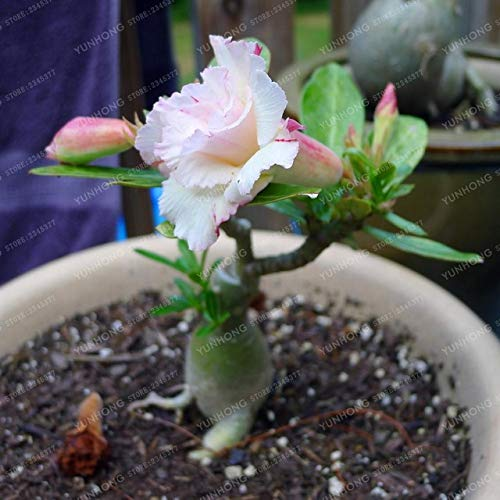 Bloom Green Co. 1 Unids Desert Rose Bonsai Flores en Maceta Bonsai Adenium Obesum Planta de Bonsai de Interior Mini Ãrbol en Maceta Para Jardín de Hogar Planta: 15