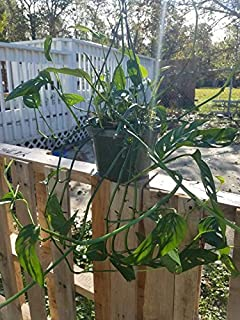 Monstera Adansonii Vine Rooted Cutting. Split Leaf Philodendron, aroid. Swiss Cheese Plant Starter Roots - One Node