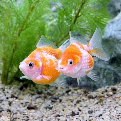 (金魚)ピンポンパール(3匹) 本州・四国限定[生体]