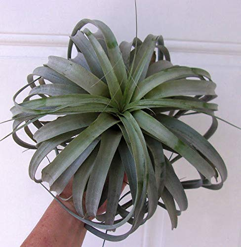FERRY Bio-Saatgut Nicht nur Pflanzen: Tillandsia XEROGRAPHICA X CAPITATA - EXTRA LG Beautifully GEFORMTE Luft