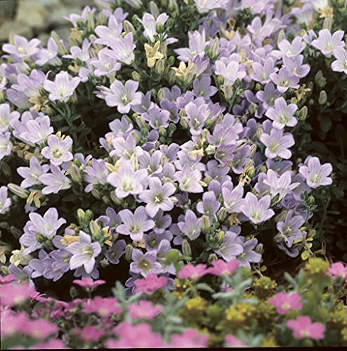 Glockenblume | Campanula 'Ambella Pink' pro 3 Stück - Freilandpflanze im Anzuchttopf ⌀10,5 cm - ↕15-20 cm