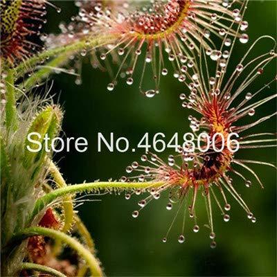 50 Stück Fleisch fressende Samen Flycatcher multi Arten der Sonnentau Seeds A Drosera Tabellen-Garten-Samen-Strahlung schützen: 14
