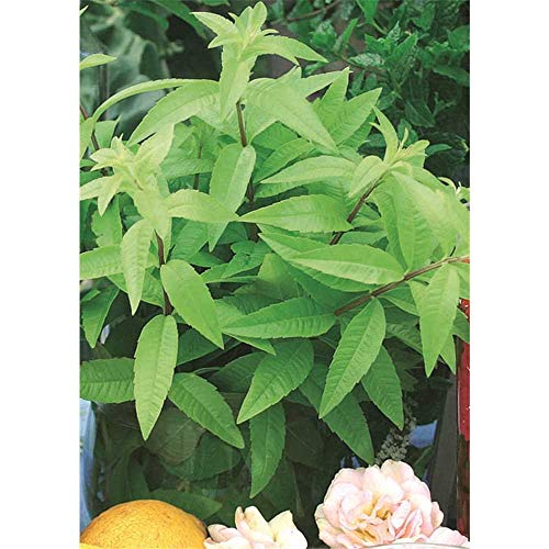 Zitronenverbene \'Freshman\', Aloysia triphylla, Kräuterpflanze - Kräuterpflanze, im Topf 11 cm, in Gärtnerqualität von Blumen Eber - 11 cm