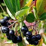 30 semillas Semillas Negro Aronia Bush (melanocarpa de Aronia)