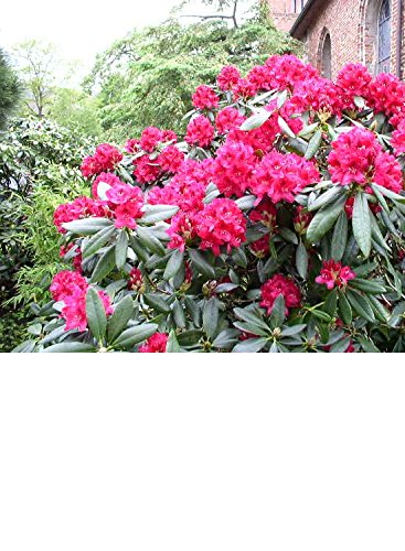 Rhododendron Nova Zembla INKARHO 30-40 cm im 5 Liter Pflanzcontainer