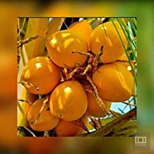 "Nature Valley High Yield Hybrid Rare Coconut Live Plant - Dwarf Coconut"" Yellow Malayan"" Live Plant Kerala Coconut Tree Plant"