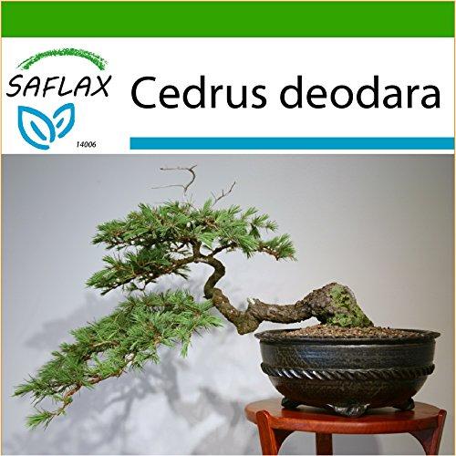 SAFLAX - Bonsai - Himalaya Zeder - 35 Samen - Mit keimfreiem Anzuchtsubstrat - Cedrus deodara