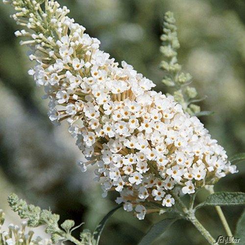 Zwerg-Schmetterlingsflieder BUZZ Ivory - Sommerflieder (Buddleja) Pflanze in weiß, halbschattig und winterhart - Flieder-Strauch von Garten Schlüter