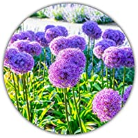 Ajo de flor gigante / Ajo gigante (Allium giganteum) / Aprox. 50 semillas / 80 a 150 cm de altura / invernal / plurianual