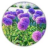 ✅ Giant ornamentale Lily (Allium giganteum) - colore del fiore viola ✅ La crescita al chiuso è possibile tutto l'anno ✅ Altezza statura da 80 a 150 cm / resistente / perenne ✅ Cresce molto velocemente - ideale anche per uso interno