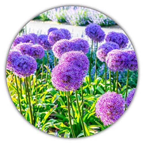 Riesenlauch/Zierlauch (Allium giganteum) / ca. 50 Samen/Wuchshöhen von 80 bis 150 cm/winterhart/mehrjährig