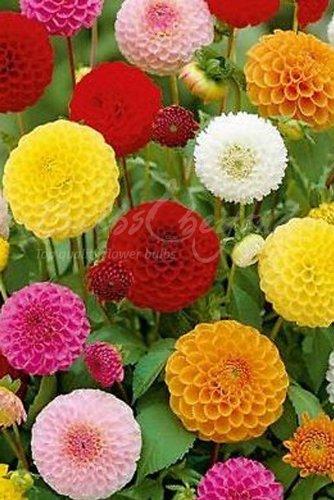 Dahlia Pompon Mischung - 20 Pompon Dahlien Knollen/Blumenzwiebeln aus Holland - Versandfrei