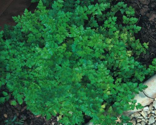Légumes - Rois des paquets de graines - Persil Uni - 1000 graines