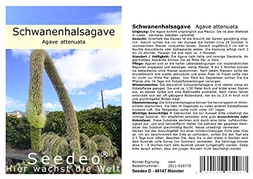 Seedeo® Schwanenhalsagave (Agave attenuata) 20 Samen