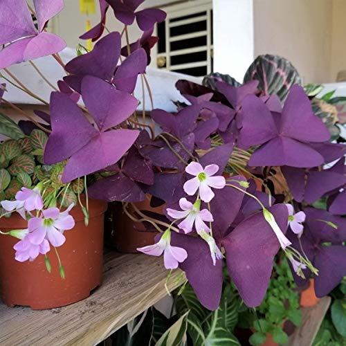 10 Bulbs of Purple Shamrock, Oxalis 'Triangularis' Size #1
