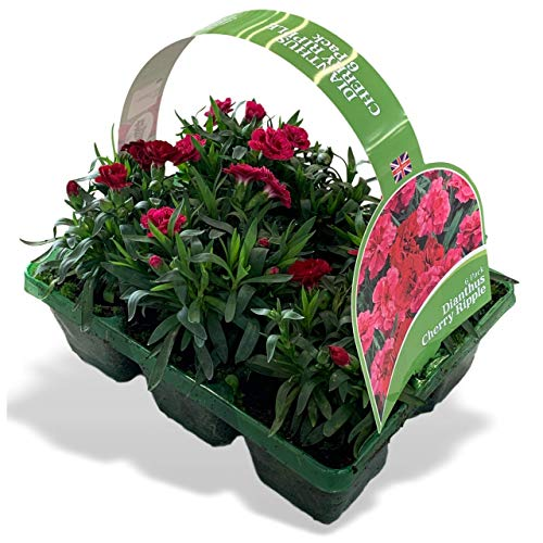 6 x Large Garden Ready Winter Plants Bedding Pack – Each Plant is The Same Size As Grown in A...