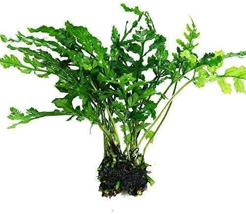 Water Fern Bolbitis Heudelotii Potted Live Aquarium Plant Fresh Water Plants by Greenpro