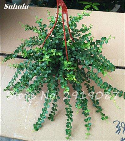 Pearl Chlorophytum Seeds 100 Pcs Hanging type de pot Chlorophytum fleurs Plantes d'intérieur air frais jardin résistant au froid 15