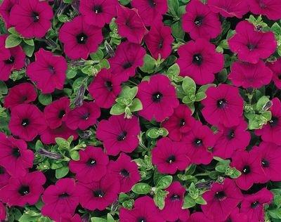 (APETWA)~'PURPLE' Wave-type PETUNIA Seeds!!!~~~~Rich, Long Spread~