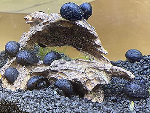 Topbilliger Tiere Anthrazit - Napfschnecke Stahlhelmschnecke 10x
