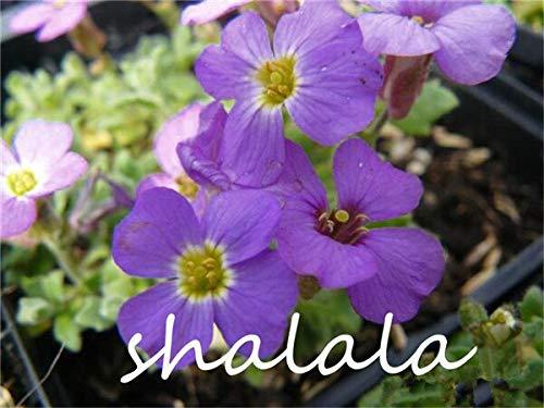 HONIC 200 Stück A Bag Lobelia Pflanze Bonsai Blume Flores, Bodendecker Chlorophytum Gartengestaltung leuchten Ihren Garten: 365.016