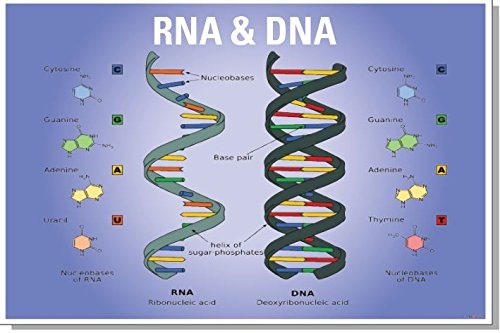 DNA RNA Biology Chart - NEW Classroom Biology POSTER