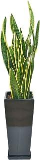 サンスベリア・ローレンティ ロングスクエア陶器鉢植え BIGサイズ