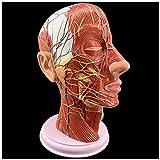 CHUTD Modelo neurovascular Superficial de Cabeza Humana - 1: 1 Cabeza anatómica Modelo Plano sagital Mediano Modelo neurovascular Superficial para Ayuda de formación educativa médica