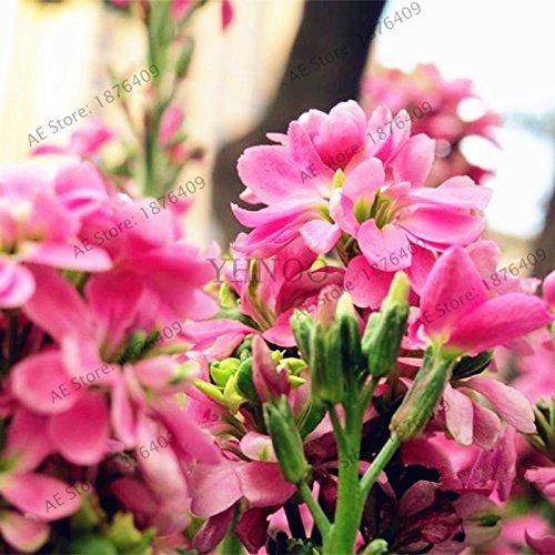 50pcs/sac couleur mélangée Violet Garden Seeds Plantes Violet Fleurs vivaces herbes Matthiola Incana semences pour la maison et le jardin 10