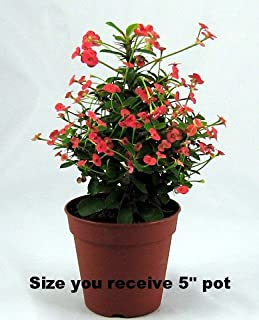 Red Crown of Thorns Plant - RARE - Euphorbia - 5 Pot
