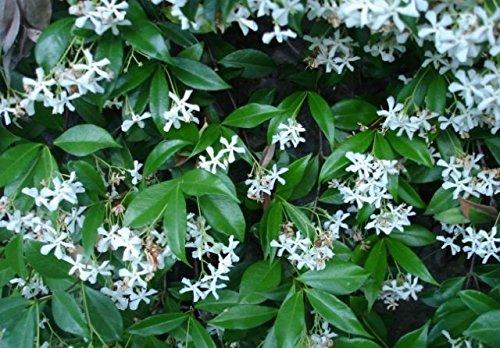 Rincospermum Falso Gelsomino Pianta in vaso di Rincospermum Falso Gelsomino - 5 Piante in vaso 7x7