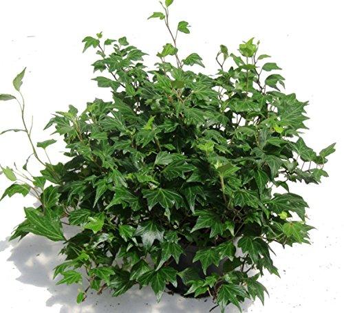 Hedera helix 'Jessica'- Efeu - echte Pflanze im 13 cm Topf als Hängepflanze, Bodendecker oder Zimmerpflanze
