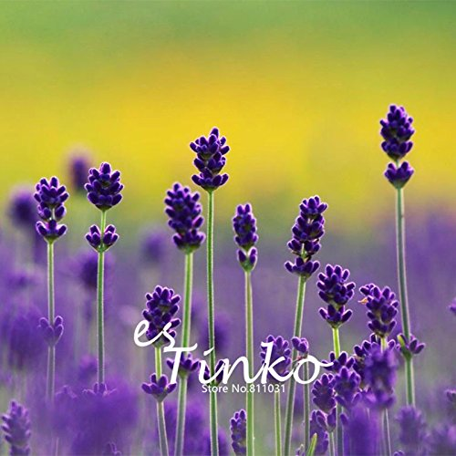 100pcs Meilleures ventes Provence courte chaîne lavande Graines Lavandula angustifolia Graines de fleurs Plantes en pot pour la maison et le jardin