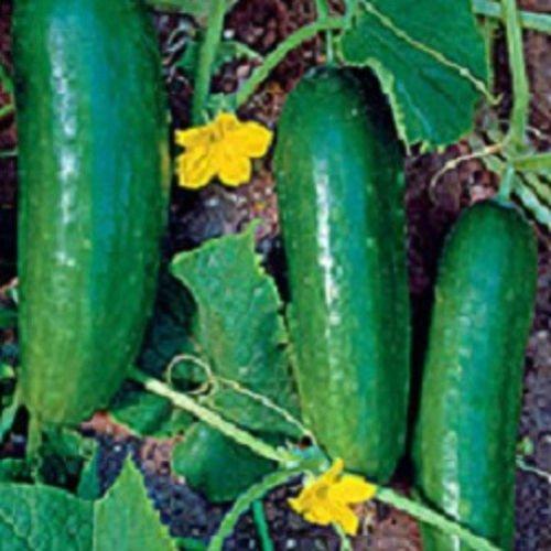 200 graines de Ashley Concombre 65 jours Graines Jardin