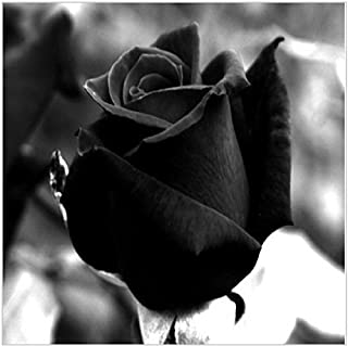 Higarden Black Seeds Dark Rose Your Lover Sweet Plant Bonsai plants Seeds for home and garden, 600 Chinese seeds