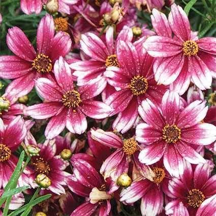 50 Graines Coreopsis Fleur/American Dream/réensemencement annuel