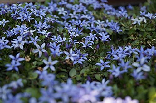 1 x Isotoma fluviatilis Country Park (Winterhart/Staude/Bodendecker) Blauer Bubikopf Gaudich ab 1,99 € pro Stück