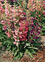 Details About Penstemon barbatus Rondo Mix 1,000 Seeds Need More? Ask