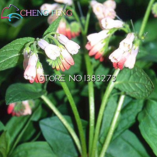 100pcs Seeds Beau Seeds Symphytum Top Quality Flower Indoor & Outdoor