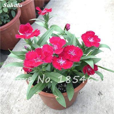 Inde importation Œillets Seed Dianthus caryophyllus Embellir et de purification d'air bricolage jardin Plantation maman cadeau 120 Pcs 6