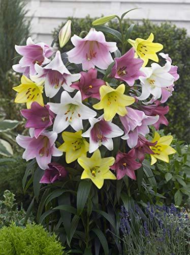 12x Lilien \'Longiflorum mischung\' - Blumenzwiebeln aus Holland - 100{23649c10e4ef77a4b3361bbddb34dd20189187803cccae1b4b5b410e207fceff} Blühgarantie - Farbe: Mischung - Höhe 100-150 cm
