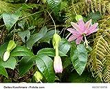 Passionsblume Passiflora molissima Bananenpassionsblume essbare Früchte 5 Samen