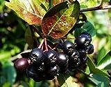 Apfelbeere Nero Aronia prunifolia Nero Containerware 60-100 cm