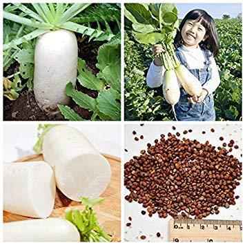 50 graines réelle Pcs Big White Mooli Radis Raphanus sativus Semences potagères Bonsai plante bricolage jardin