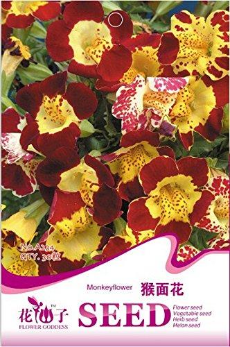 Graines Mimulus Monkey Face Fleur, emballage d'origine, 30 graines / Pack, A234 Musc Fleurs Plante vivace